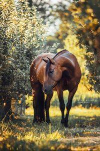 Animal-adulte-période-vie-cheval
