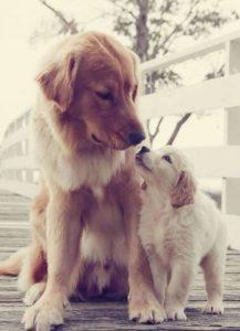Femellegestante-périodes de vie du chien-motifs-consultation-chien