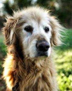 chiens-seniors-périodes de vie du chien-motifs-consultation-chien