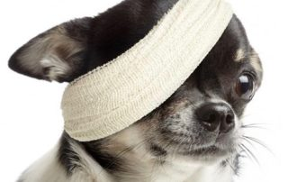 Chihuahua bandé carré